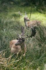 IMGP9496-Modifier-Modifier-Modifier (breizhpanda) Tags: nature strou daim pentax tamron animaux