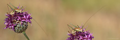 Up And Down (ildikólaskay) Tags: insect insekt insecte rovar grasshopper schrecke sauterelle szöcske leptophyesalbovittata virágszöcske gestreiftezartschrecke hungary