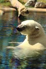 Luna in the Pool (Jay Costello) Tags: zoo mammal predator buffalo buffalozoo luna white bear polarbear ursine