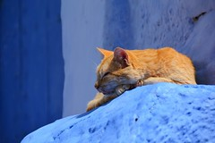 Berber Cat of Chefchaouen, Morocco. Chat Berbre de Chaouen, Maroc. (Olivier Simard Photographie) Tags: maroc morocco chefchaouen chefchaoun rif massifdurif mdina medina bleu blue azul achawen chaouen    chat cat gato escalier stairs lumire light matin morning marocaine rifmountain sebbanine afriquedunord maghreb berbre berber sommeil sleep sieste rest afrique africa chatte animal flin greffier fourrure pelage pussycat feline red lovely redhead fur roux