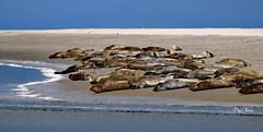 les phoques -seals  - 2 (png nexus) Tags: nature animaux phoque seal plage beach bleu blue