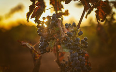 Vino Tinto (Stefan Sellmer (up and away for holiday)) Tags: mallorca portocolom redwine spain bokeh sunset vineyard