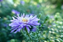 dreamy (nelescholten) Tags: pastel dreamy daisy summer soft sunlight nature green magic bright