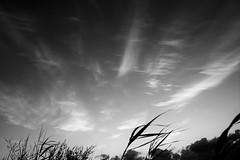 windy (Mi... Po Mi.) Tags: wind silver cirrus grass