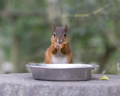 Red squirrel disguised as a chipmunk :)) (Explored) (hehaden) Tags: squirrel redsquirrel sciurusvulgaris waterbowl bwc britishwildlifecentre lingfield surrey sel90m28g