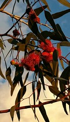 Gum blossoms (misty1925) Tags: flower blossom gumblossom red leaves gumtree gumleaf