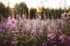 (DrowsyPotato) Tags: sony ilce7rm2 nature fields bokeh bokehful mood tones a7rii alpha landscape flowers grass sweden swedish svensk sverige norrland jmtland moody tone