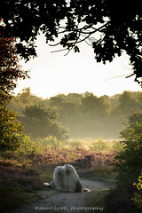 "a good start of the day.. "" explore"" (dewollewei) Tags: oldenglishsheepdog oldenglishsheepdogs oldenglishsheepsdog oes bobtail sophieandsarah sophieensarah engbertsdijksvenen morning sunrise hond old english sheepdogs forest fog mist dogs dog explore explored summer heather heide veen"