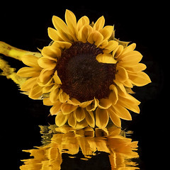 Sunflower Reflections (NYRBlue94) Tags: mylar yellow close petal reflection color mirror