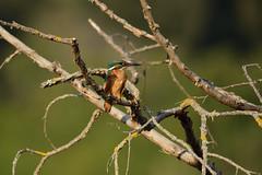 DSC_9803 (gerald2231) Tags: bird vogel eisvogel