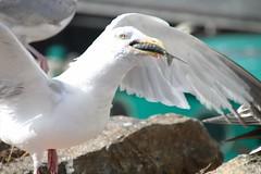 Voracit (Jeanne Menj) Tags: port laturballe bretagne oiseau mouette goland