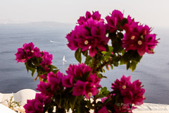 View through the flowers in Oia, Santorini