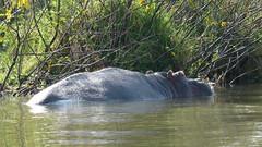Hipoptamo (Alicia Julin) Tags: hipopotamo lago naivasha kenia africa safari hippopotamus kenya