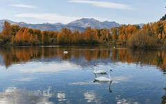 Swans (f/Kat) Tags: gtnp grandtetonnationalpark wyoming autumn fall aspen reflections