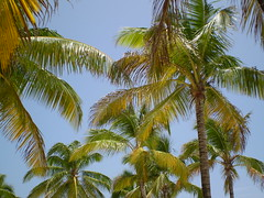 A tropical feel (candiceshenefelt) Tags: tropical flora trees sky fun green