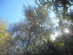 (Psinthos.Net) Tags:  psinthos autumn september      nature countryside valley psinthosvalley       noon sky bluesky   planetree    olivetree treebranches   leaves  tree  trees    sunnyday day shadow   light sunlight    sunrays sun   oleander shrubs branches
