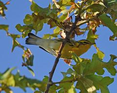 Warbler? (JamesMarks) Tags: canada ontario parham wildlife nature bird warbler unidentified