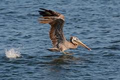 Brown Pelican (linda m bell) Tags: bolsachica ecologicalreserve 2016 california wetlands socal birds birdwatching brownpelican takeoff