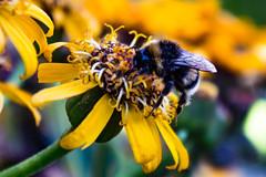 Stay Still! (Jori Samonen) Tags: animal insect bee flower yellow plant alppipuisto helsinki finland sony ilce3000 e 1855mm f3556 oss sonyilce3000 e1855mmf3556oss