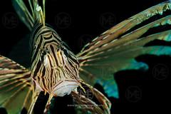 Portrait of a lionfish (Arno Enzerink) Tags: bestof actinopterygii animalia aquatic chordata dive diving koraalduivel lionfish marine marinelife ocean poisonous pteroinae pterois scorpaenidae scorpaeniformes sea stings underwater venomous water wings camiguinisland philippines ph