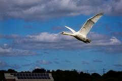 Swan flying over RSPB Sandwell (stevehimages) Tags: steveh stevehimages steve higgins grandpas den wowzers warden west midlands 2016 sandwell valley rspb flying