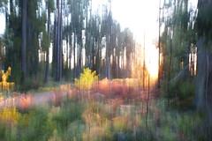 Sunset (evisdotter) Tags: sunset sunsetlight evening light autumn colors wood forest skog nature sooc icm intentionalcameramovement camerapainting