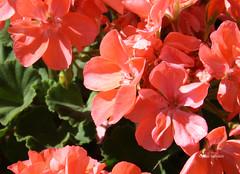04-IMG_4647 (hemingwayfoto) Tags: august balkon blhen blte geranie geranium