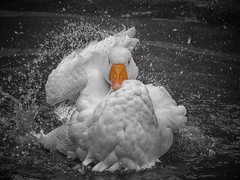 Strike a pose (ParadoX_Design) Tags: vogue strike pose bird goose bathing bath clean splashing white orange feathers black drops water droplets wings posing