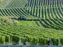 Cyclistes dans les vignobles (CORMA) Tags: allemagne deutschland germany moselle mosel 2016 europe europa vineyard vignoble weinberg