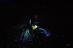 yelow flowers (ela.kaszuba) Tags: leafs light dark elajkaszuba nature night plants