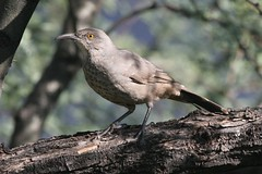 Curve-billed Thrasher, Toxostoma curvirostra, Ash Canyon, Arizona, Photo by Wes (wesbird72) Tags: aba americanbirdingassociation americanbirding american americanbirder america abaarea americanbirds birding birder birdsofnorthamerica birds bird beak black blue wing wings winged white wildlife wild curvebilledthrasher toxostomacurvirostra ashcanyon arizona photobywes arizonabirding arizonabirds thrash thrasher bill billed curve curved curves tail tailfeathers tree twig