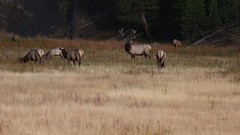 Bull Elk Bugle (brian.bemmels) Tags: elk wapiti cervuscanadensis cervus canadensis yellowstone bull bullelk bugle bugling explore explored inexplore