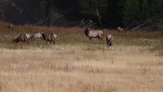 Bull Elk Bugle