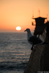 seagull enjoying sunset (RB@photography) Tags: pier ib ocean imperialbeach seagull silhouette sandiego sunset