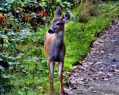 09-18-2016-Fawning over you (Valerie Sauve-Vancouver) Tags: fawn deer maplewoodflatsconservation park nature path trail outdoors northvancouverbc