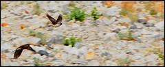 Birds (Rajesh Bhalla) Tags: pangonglake pangongso birds landscapes hornedlarks larks lark hornedlark