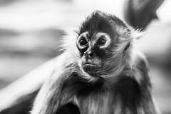 Space Monkey (Thomas Hawk) Tags: america forestpark missouri mo saintlouiszoo stlouis usa unitedstates unitedstatesofamerica bw monkey zoo fav10
