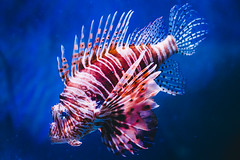 Den Bl Planet (Thomas Ohlsson Photography) Tags: akvarie aquarium copenhagen denblplanet denmark lionfish olympusmzuikodigital45mmf18 olympusomdem5elite pterois thomasohlssonphotography thomasohlssoncom
