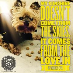I adore you (itsayorkielife) Tags: yorkiememe yorkie yorkshireterrier quote