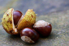 fruit of autumn (photos4dreams) Tags: kastanie kastanien photos4dreams p4d photos4dreamz chestnut