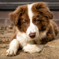 Cute! (asheers) Tags: bordercollie collie dog puppy pup young cute beautiful pretty brown white eyes paws ears fur hair nose