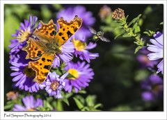 The Comma Butterfly (Paul Simpson Photography) Tags: commabutterfly comma normanbypark nature imageof imagesof insect september2016 sonya77 flower paulsimpsonphotography photosof photoof purpleflowers beauty britishbutterflies butterfly butterflies fly greenbottle petals wings