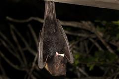 Pacific Flying Fox (Pteropus tonganus), Mounu Island, Tonga, South Pacific (kmalone98) Tags: tongafruitbat flyingfox pacificflyingfox bradthefruitbat fruitbat tongaflyingfoxatmounuisland mounuisland pteropustonganus