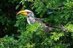 Southern Yellow-billed Hornbill (bjorngrotting) Tags: africa park wood trip trees wild plants plant color tree bird tourism nature birds animal animals yellow fauna architecture forest southafrica bill nationalpark woods flora woodlands colorful branch colours natural african wildlife branches beak reserve woody safari journey perch vegetation trunk leisure perched recreation colourful boughs twigs coloured hornbill avian conifers krugernationalpark mpumalanga preservation rostrum protected recreational gamereserve billed pinophyta perching southernyellowbilledhornbill tockusleucomelas hornbills ramus protectedarea bucerotidae coraciiformes woodyplant easterntransvaal neognathae