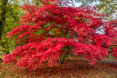 Acer Tree, Westonbirt Arboretum (welshio) Tags: park wood uk travel pink autumn trees light red england fall nature