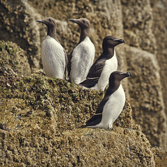 guillemots to the left of me, razorbills to the right (Black Cat Photos) Tags: uk sea summer england blackandwhite cliff cute bird rivalry nature june statue pose season island islands togetherness coast teams team rocks order wildlife pair watch group beak posing right lookout scan formation direction northumberland together perch sharing pairs british left comparison sidebyside survey share farneislands britishwildlife rivals britian colony seabird lookleft razorbill verses facing sides organisation guillemot statuesque lookright alcatorda uriaaalge farnes auk twobytwo twopairs lookleftlookright stapleisland 2pairs wathout faceleft faceright