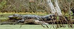 Alligator on Log I (hardmile) Tags: alligator alligators lake water forest tree trees reptile reptiles wildlife animals nature beautiful outdoors spring