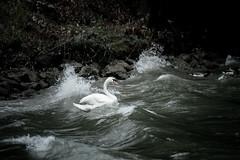 Steady as she goes (the Snow Tiger) Tags: vienna water river canal swan nikon waves tsunami tidal danube austra donau