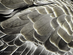 """Feather detail of a duck • <a style=""""font-size:0.8em;"""" href=""""http://www.flickr.com/photos/44019124@N04/8174964748/"""" target=""""_blank"""">View on Flickr</a>"""