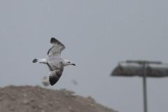 Caspian gull / Larus cachinnans / Pontische meeuw 2cy (Herman Bouman) Tags: bird caspiangull laruscachinnans 2cy pontischemeeuw